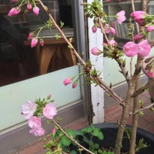 大和のハーブ、心を和ます「桜」に秘められた老化防止と美肌の力の画像