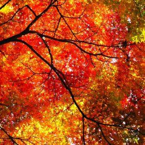 秋の紅葉、意外と知られていないイチョウやモミジの色とハーブの持つ機能性成分は同じ!ということ
