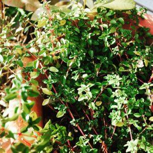 植物と暮らそう、いまの季節はタイムの癒しが身に染みてありがたい。
